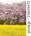 菜の花と桜 29849472
