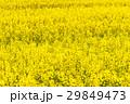 菜の花と桜 29849473