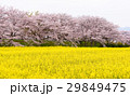 菜の花と桜 29849475