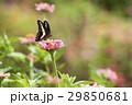 アオスジアゲハ あおすじあげは 蝶の写真 29850681