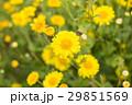chrysanthemum flower in the garden. 29851569