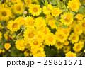 chrysanthemum flower in the garden. 29851571
