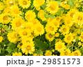 chrysanthemum flower in the garden. 29851573