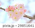 八重桜 29851641