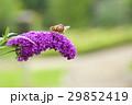 ヒメアカタテハ 29852419