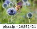 ヒメアカタテハ 29852421