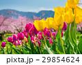 チューリップと桃の花の風景 29854624