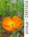 植物 花 ポピーの写真 29855628