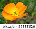 植物 花 ポピーの写真 29855629