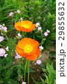 花 ポピー アイスランドポピーの写真 29855632