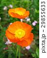 植物 花 ポピーの写真 29855633
