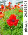 植物 花 ポピーの写真 29855803