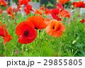 花 ポピー オリエンタルポピーの写真 29855805