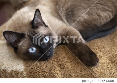 Siamese cat 29856686