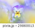 ビオラ 花 植物の写真 29860013