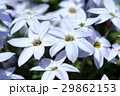 花韮 花 植物の写真 29862153