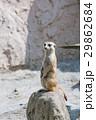 ミーアキャット 動物 富士サファリパークの写真 29862684