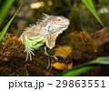 動物 は虫類 ハ虫類の写真 29863551