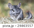 Grey chinchilla outdoors 29863557