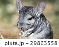 Portrait of gray chinchilla 29863558
