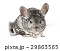 Grey chinchilla over white 29863565