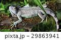 動物 は虫類 ハ虫類の写真 29863941