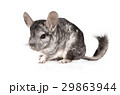Chinchilla isolated on a white 29863944