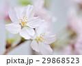 花 さくら 春の写真 29868523