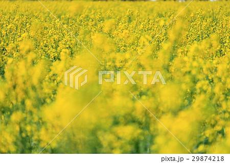 菜の花畑 29874218