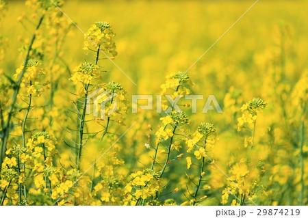菜の花畑 29874219
