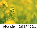 菜の花 春 花の写真 29874221
