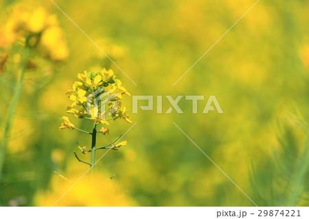 菜の花 29874221
