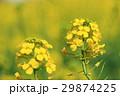 菜の花 29874225