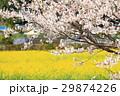 菜の花畑と桜 29874226