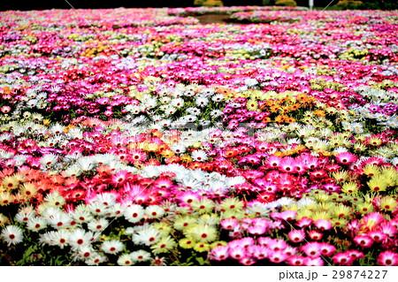 リビングストンデイジーの花畑 29874227