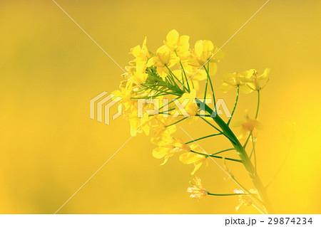菜の花 29874234