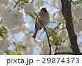 雀 鳥 小鳥の写真 29874373