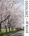 桜並木 桜 桜散るの写真 29876560
