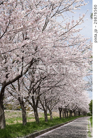 桜並木 桜散る 29876560