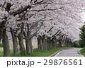 桜並木 桜 散るの写真 29876561