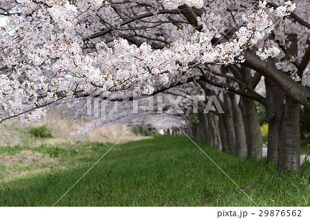 桜並木 29876562