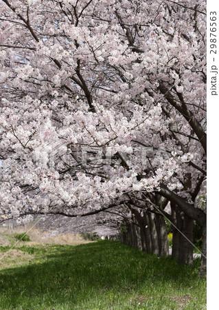 桜並木 29876563