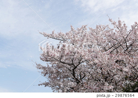 桜と青空 桜吹雪 29876564