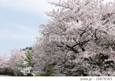 桜と青空 29876565