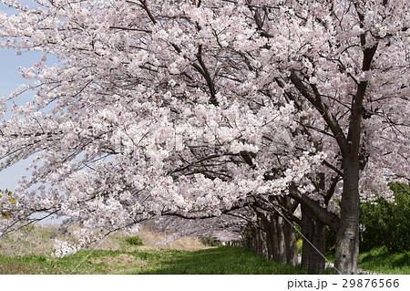 桜並木 29876566