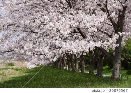 桜並木 29876567