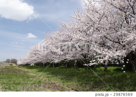 桜と青空 29876569