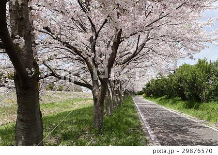 桜並木 桜散る 29876570