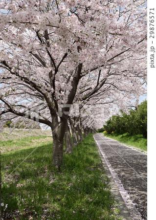 桜並木 桜散る 29876571