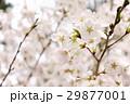 桜の世界 29877001